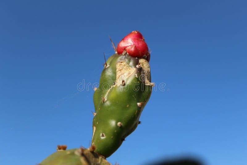 Frutti e cielo del cactus fotografia stock libera da diritti