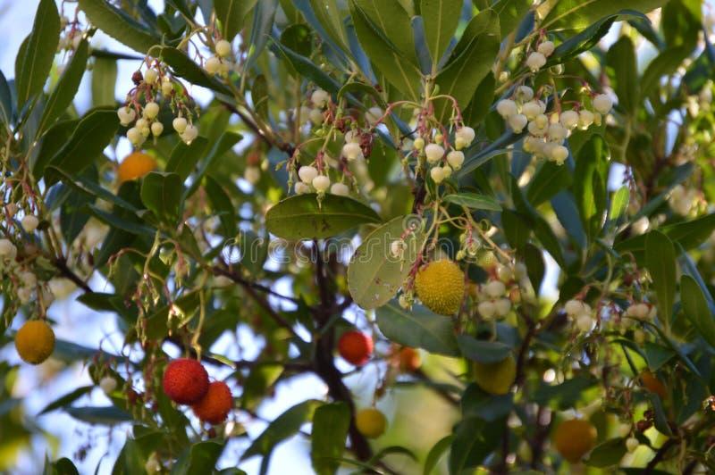 Frutti e fiori del litchi fotografie stock libere da diritti