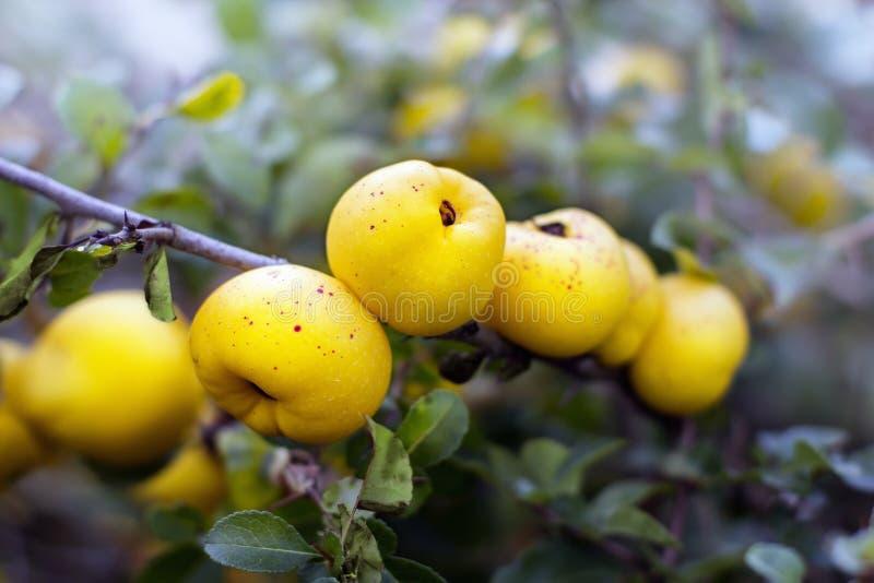 Frutti ecologici di speciosa di chaenomeles (acni rosacee) fotografia stock libera da diritti