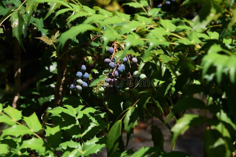 Frutti giapponesi di mahonia immagini stock