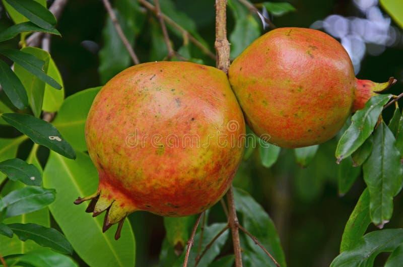 Frutti maturi del melograno sull'albero immagini stock libere da diritti