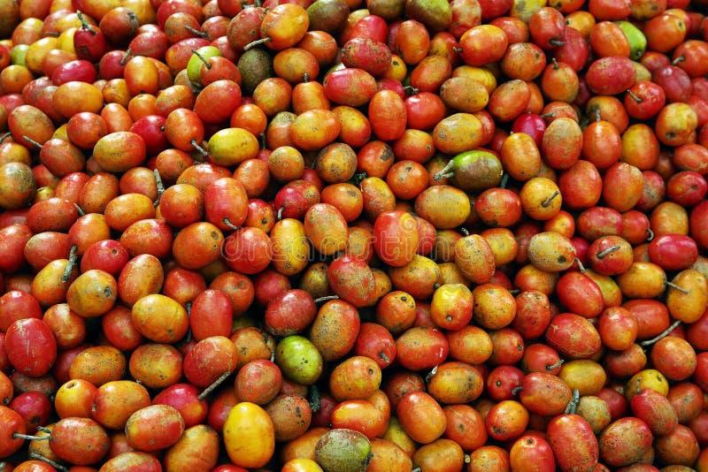 Frutti maturi dell'albero del coffe Piantagioni di caff? a Quindio - Buena Vista, Colombia fotografia stock