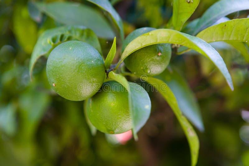 Frutti non maturi verdi del mandarino su un ramo immagine stock