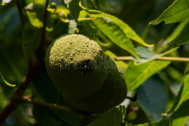 Frutti non maturi verdi della noce nera americana orientale, specie di latifoglia nella famiglia di juglandaceae immagine stock