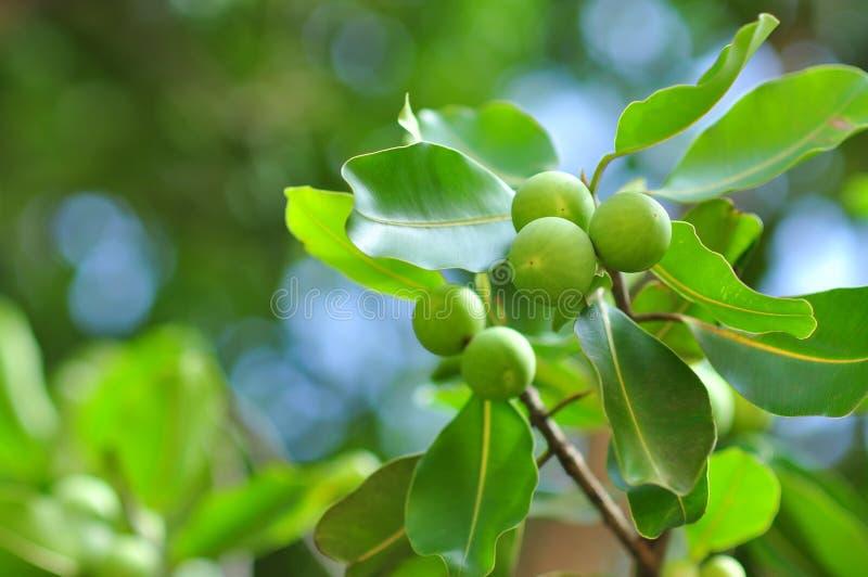 Frutti selvaggi sull'albero immagine stock libera da diritti