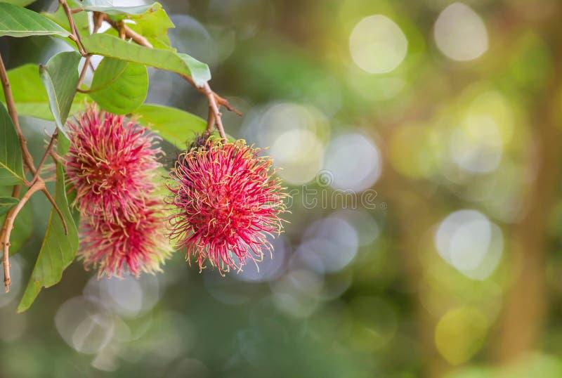 Frutti tropicali di nephelium lappaceum fresco del Rambutan che appendono sull'albero del brunch fotografia stock
