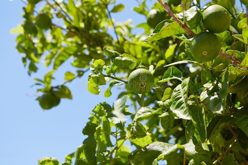Frutti verdi del mandarino immagine stock libera da diritti