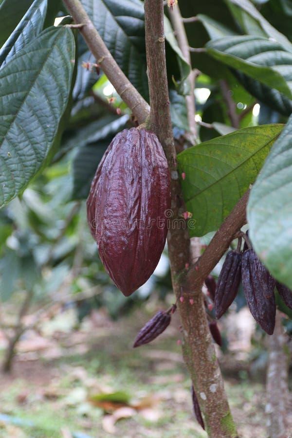 Frutticoltura del cacao di Brown su un albero fotografia stock