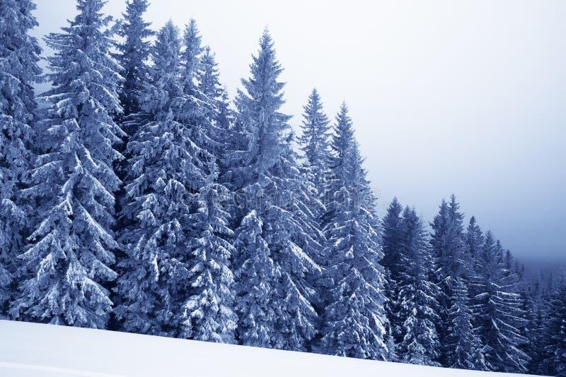 Fryst snö-täckt prydlig skog i dimma och snöig lutning på vintern  tonat royaltyfri bild