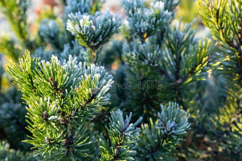 Fryst trädgren i vinterskog Vinterpinträd arkivbild