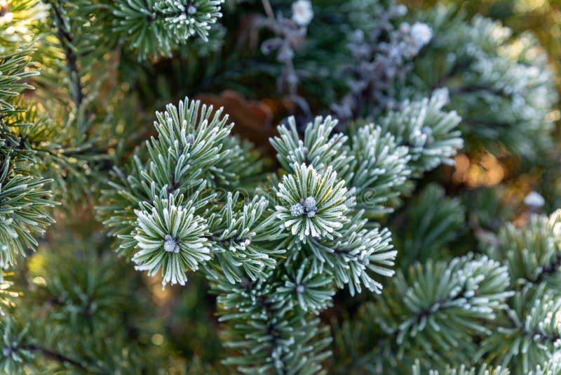 Fryst trädgren i vinterskog Vinterpinträd arkivbilder