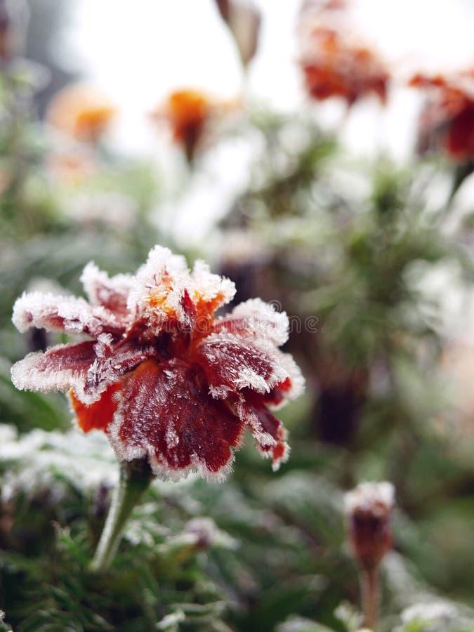 fryste blommor royaltyfria bilder
