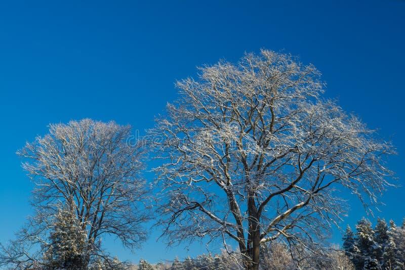Fryste vinterträd, blå himmel på bakgrund royaltyfria bilder