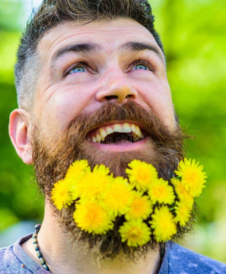 Fryzjera męskiego pojęcie Brodaty mężczyzna z dandelion kwitnie w brodzie, zakończenie up Mężczyzna z brodą i wąsy na szczęśliwej zdjęcia royalty free