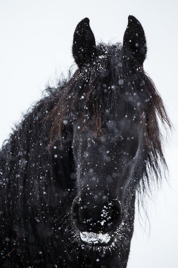 Fryzyjczyka opad śniegu i koń obrazy stock
