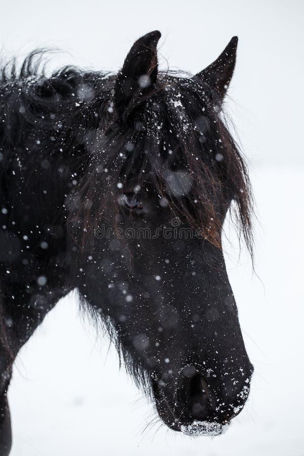 Fryzyjczyka opad śniegu i koń obrazy royalty free