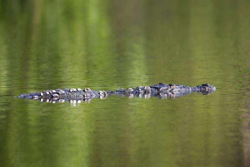 12 Fuß amerikanisches Krokodil Crocodylus acutus Schwimmen in einem Teich stockfotografie