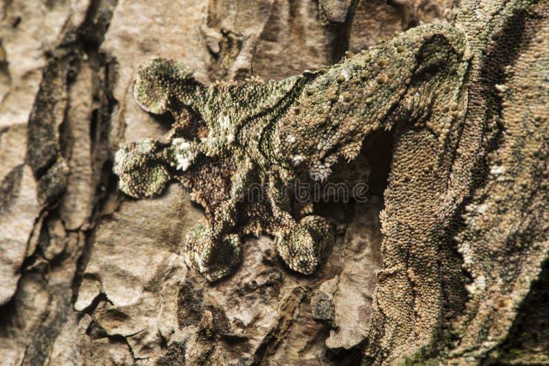 Fuß ein Gecko Uroplatus-sikorae lizenzfreies stockfoto