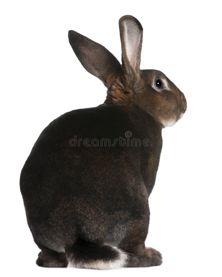 Fußrolle Rex Kaninchen stockbild