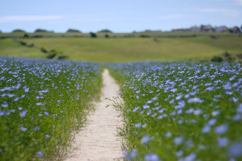 Fußweg durch ein Flachsfeld in Süd-England stockbilder