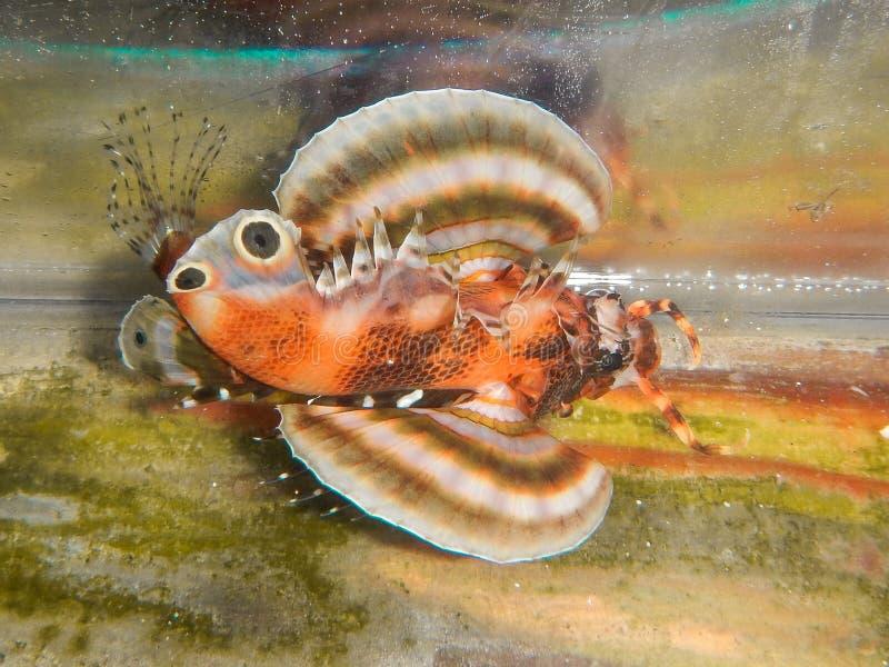 Fu Manchu Lionfish στοκ εικόνες με δικαίωμα ελεύθερης χρήσης