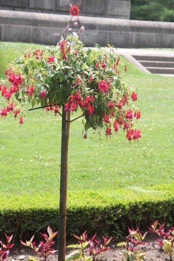 Fuchsia дерево с красными цветками стоковая фотография