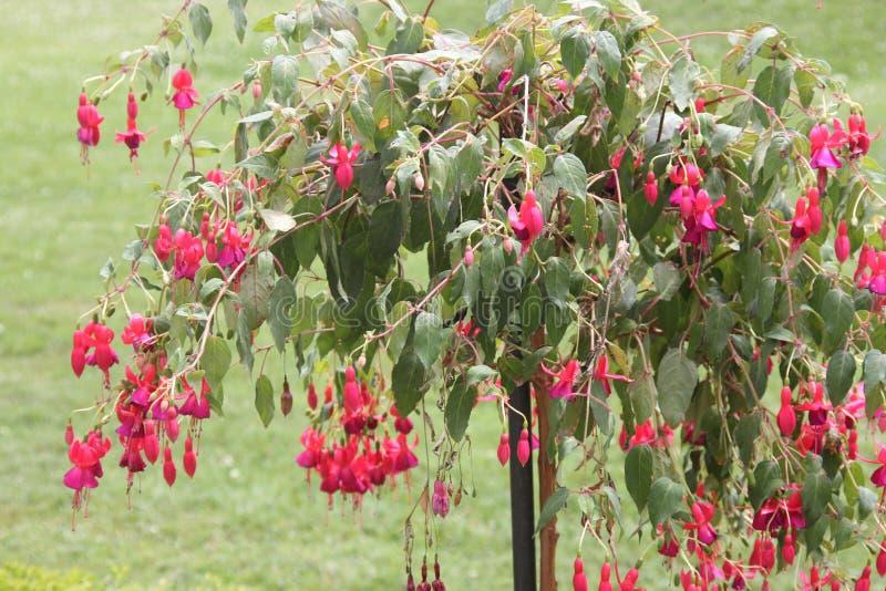 Fuchsia дерево с красными цветками стоковые изображения