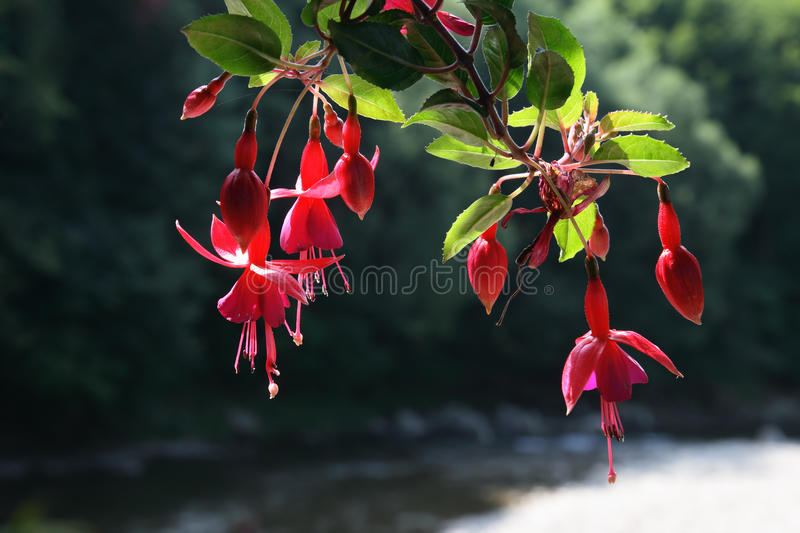Download Fuchsia stock photo. Image of blossom, ornamental, hanging - 12190208