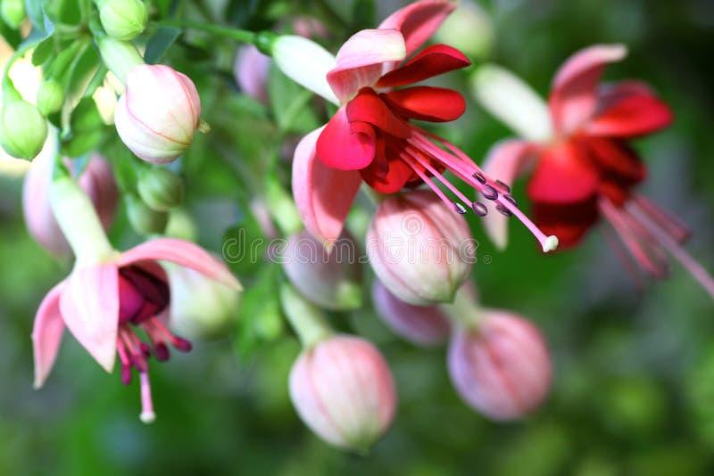 Fuchsia royalty free stock image