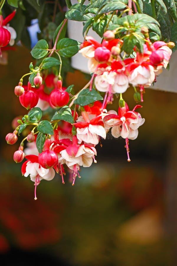 Fuchsia images stock