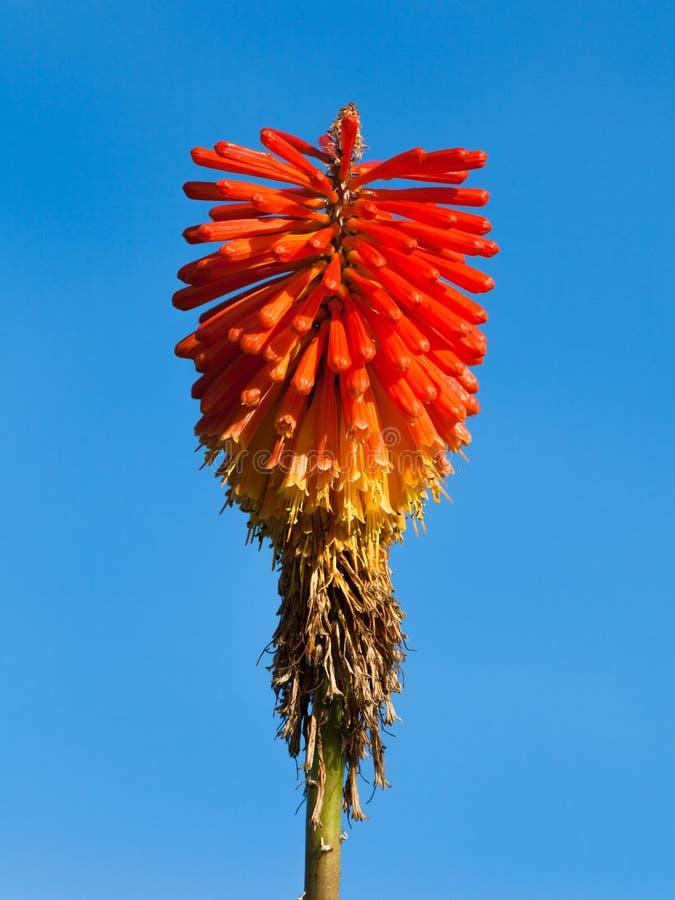 Fuchsia stock images