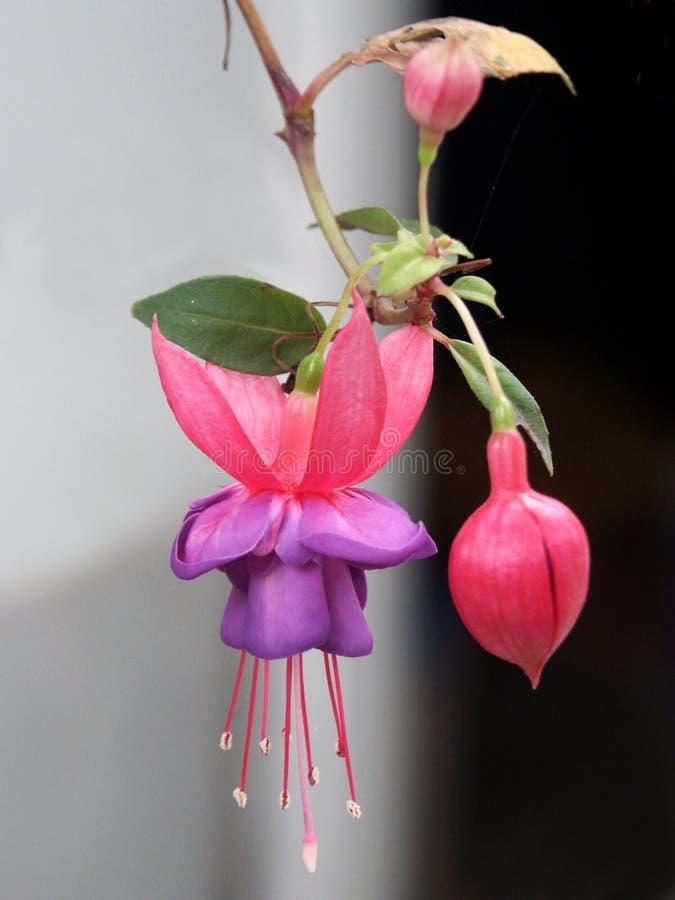 fuchsia royaltyfri bild