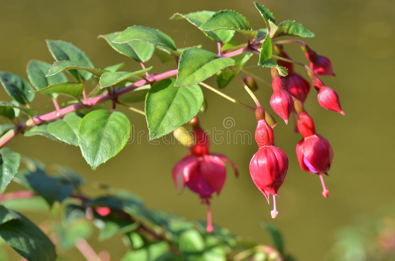 Download Fuchsia stock image. Image of botanical, closeup, nobody - 34384273