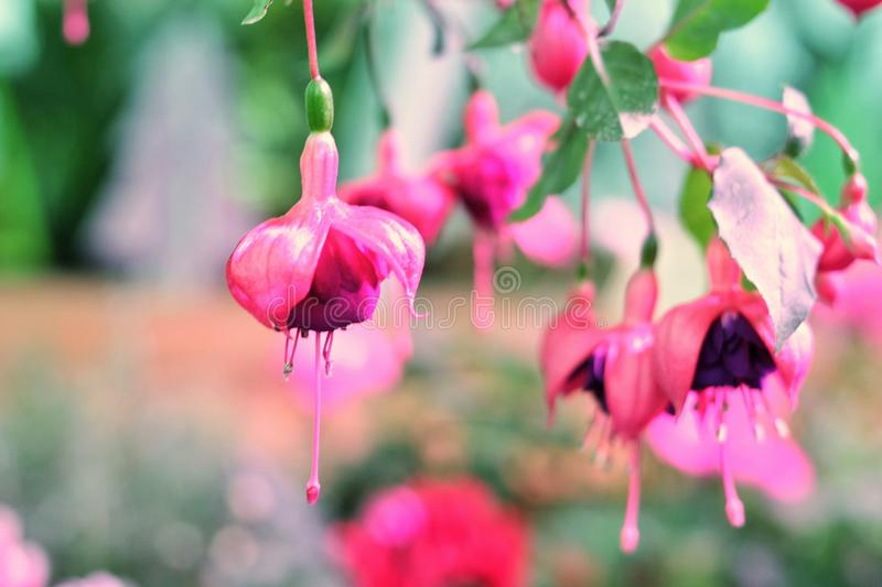 Fuchsia branch with flowers, flowers postcard, place for copyspace royalty free stock photo