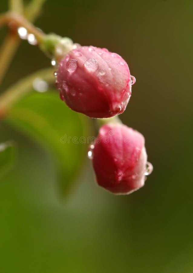 Fuchsia buds stock photo