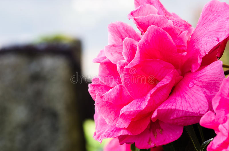 Fuchsia Camellia royalty free stock images