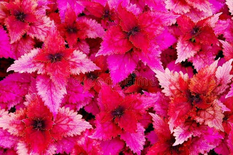 Fuchsia color Coleus. Taken from botanic garden royalty free stock images