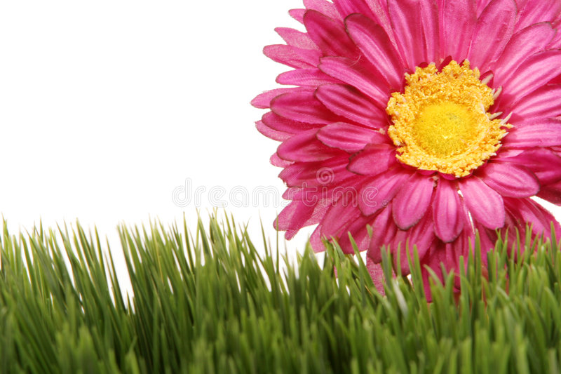 Download Fuchsia Color Gerbera Daisy Flower On Green Grass Stock Image - Image: 1962607