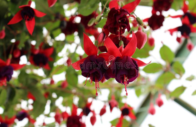 Fuchsia Dark Eyes. Close-up of blooming flowers stock photography