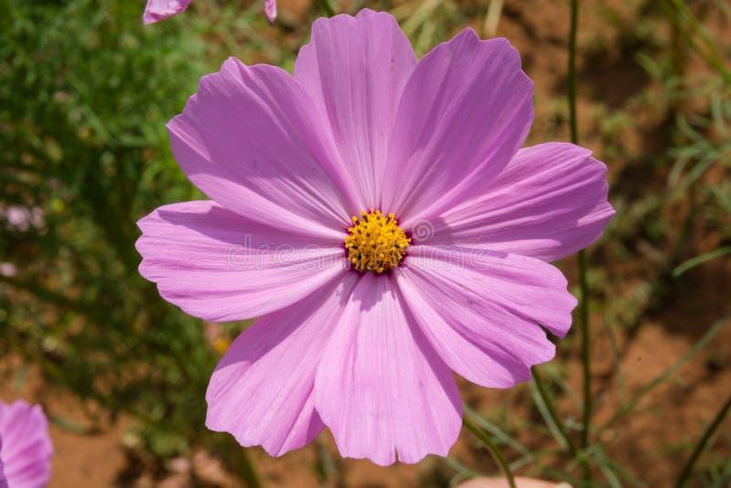 Fuchsia de fleur de cosmos photos stock