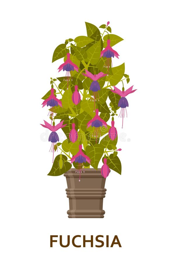 fuchsia Dekorativer Houseplant im Topf Floristeninnenbaum oder Innenblumentopf Auch im corel abgehobenen Betrag stock abbildung