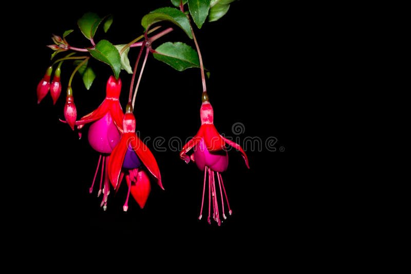 fuchsia flowers on black background stock image image of