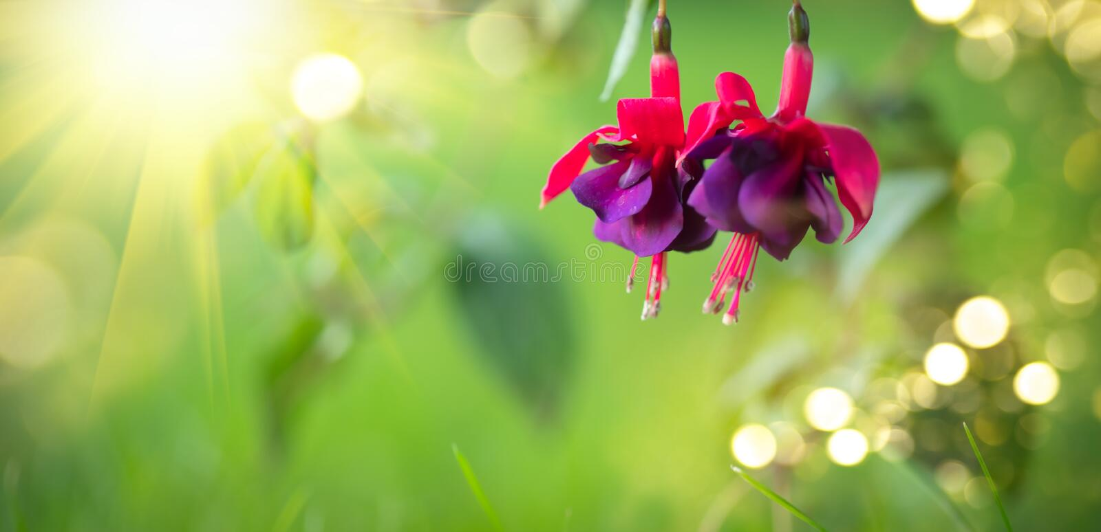 Fuchsia flowers blooming in summer garden. Beautiful purple with violet color Fuchsia close-up on blurred green backdrop stock photo