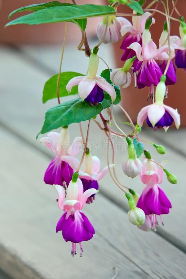 Fuchsia flowers. Close up royalty free stock images