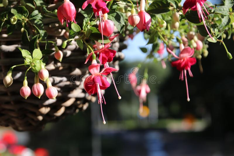 Fuchsia flowers in pink color in a garden in the Netherlands stock images