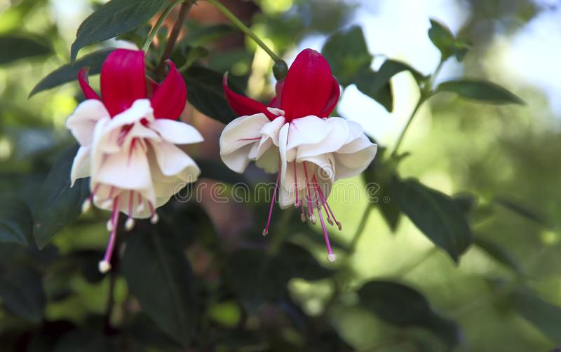 Fuchsia flowers. White and red fuchsia flowers in the garden hanging on branches. stock images