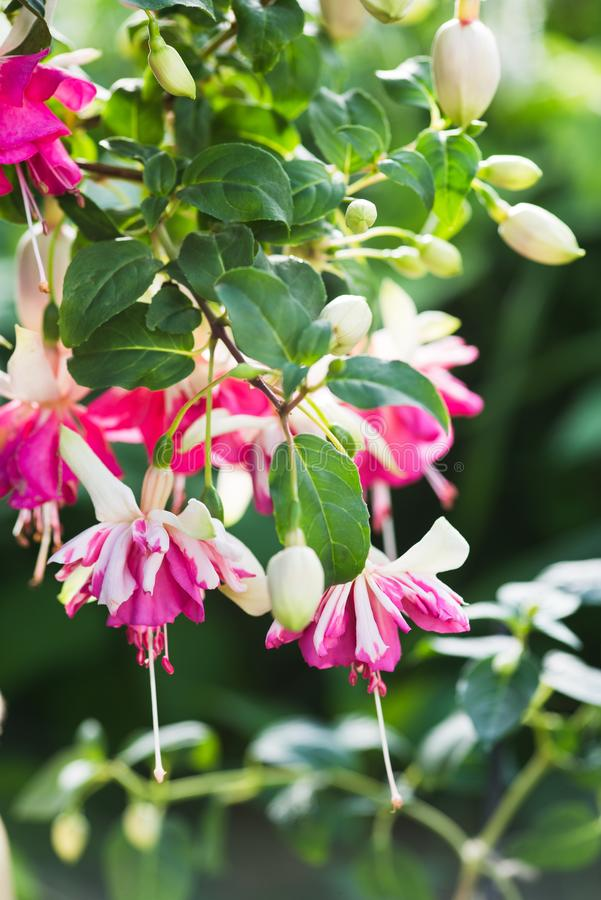 Fuchsia `Flying Scotsman` close-up. Fuchsia `Flying Scotsman` - variety with big double flowers royalty free stock images
