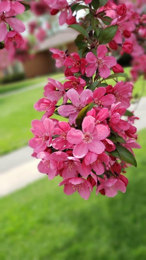 Fuchsia i blom fotografering för bildbyråer