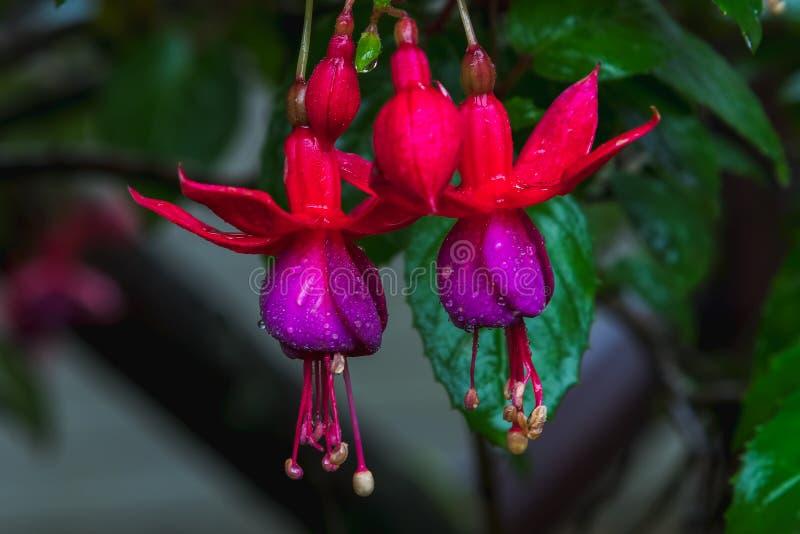 Fuchsia magellanica arkivbild