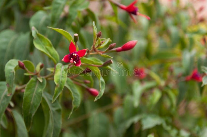 Fuchsia magellanica med huvud royaltyfria foton